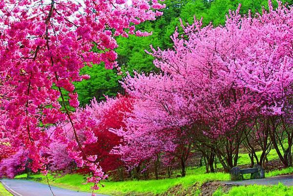 20武陵的櫻花  美豔浪漫絕倫
