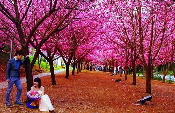 17武陵的櫻花  美豔浪漫絕倫