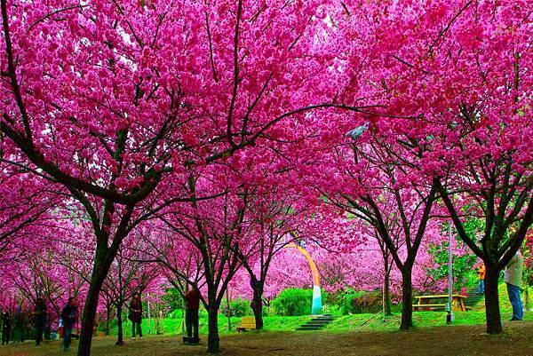 19武陵的櫻花  美豔浪漫絕倫