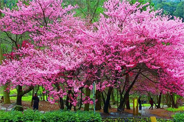 2武陵的櫻花  美豔浪漫絕倫二