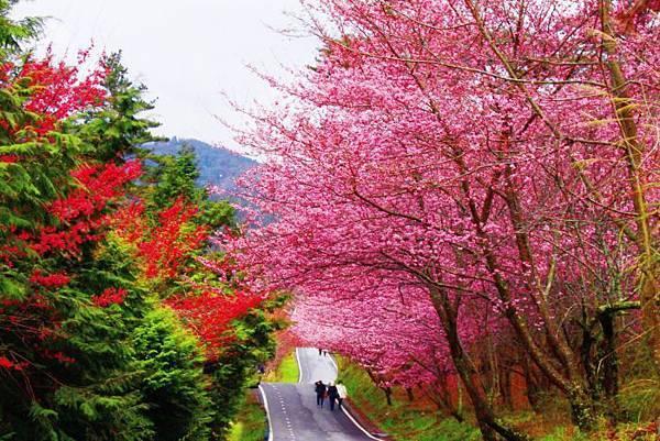 3武陵的櫻花  美豔浪漫絕倫二
