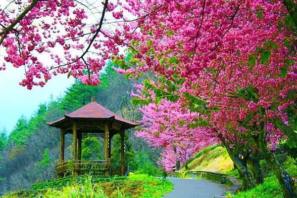 4武陵的櫻花  美豔浪漫絕倫二