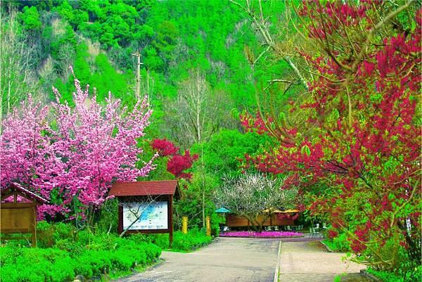 1武陵的櫻花  美豔浪漫絕倫二