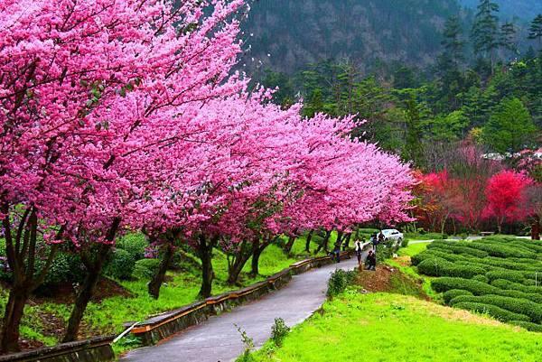 5武陵的櫻花  美豔浪漫絕倫二
