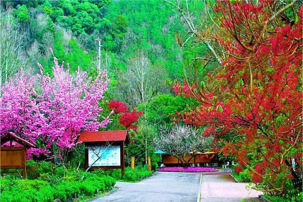 10武陵的櫻花  美豔浪漫絕倫二