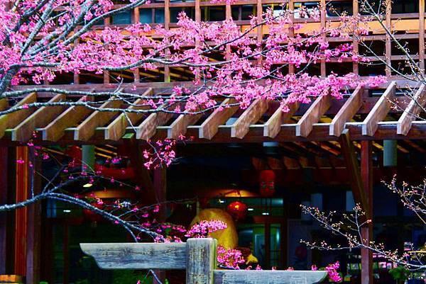 8武陵的櫻花  美豔浪漫絕倫二