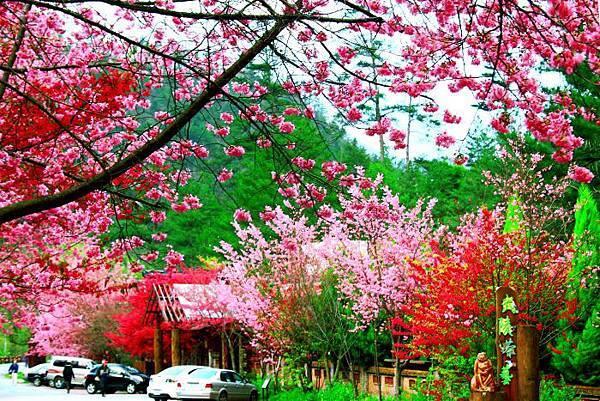 7武陵的櫻花  美豔浪漫絕倫二