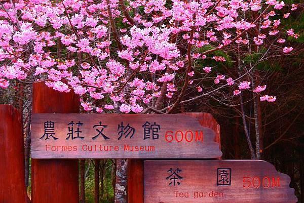 9武陵的櫻花  美豔浪漫絕倫二