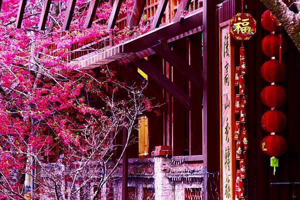 6武陵的櫻花  美豔浪漫絕倫二
