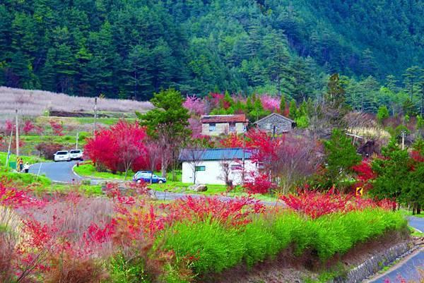 13武陵的櫻花  美豔浪漫絕倫二
