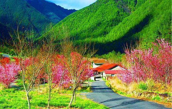 12武陵的櫻花  美豔浪漫絕倫二