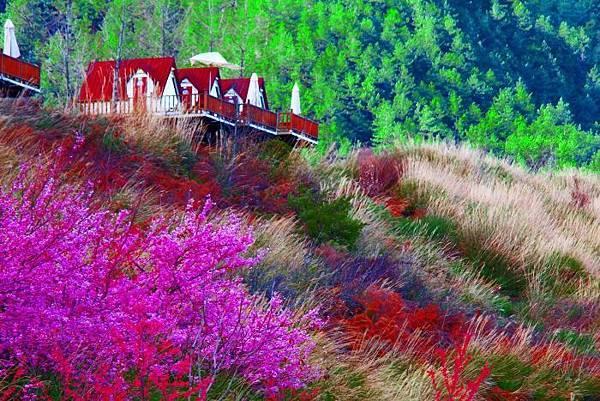 15武陵的櫻花  美豔浪漫絕倫二