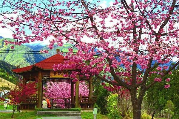 11武陵的櫻花  美豔浪漫絕倫二