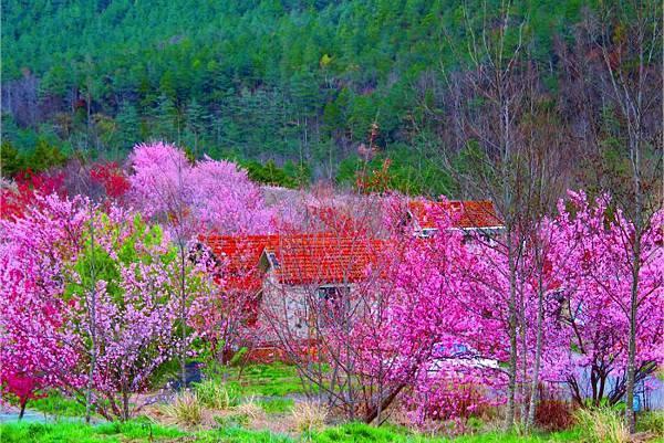 14武陵的櫻花  美豔浪漫絕倫二