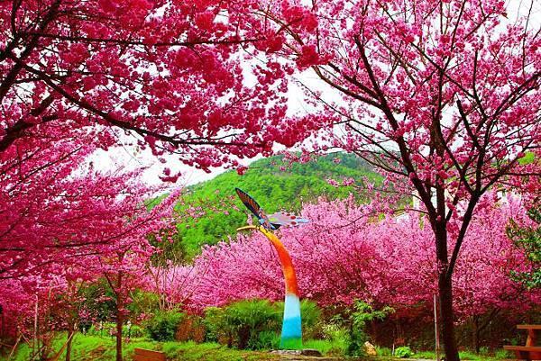 17武陵的櫻花  美豔浪漫絕倫二