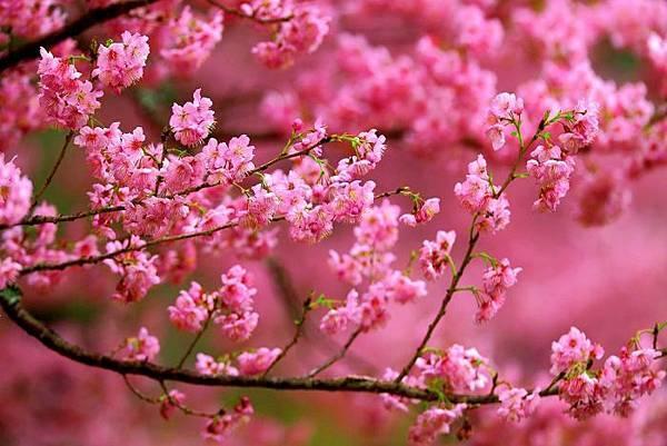 18武陵的櫻花  美豔浪漫絕倫二