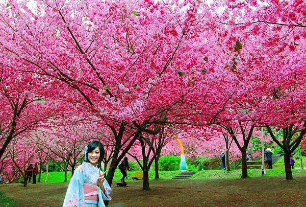 16武陵的櫻花  美豔浪漫絕倫二