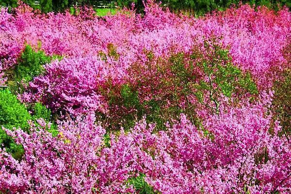 20武陵的櫻花  美豔浪漫絕倫二