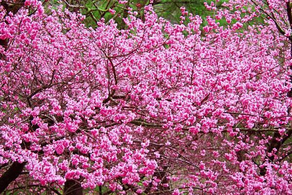19武陵的櫻花  美豔浪漫絕倫二