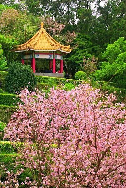 6天元宮櫻花之美