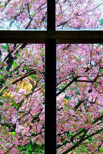 13天元宮櫻花之美