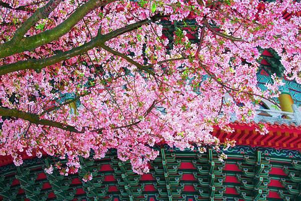 21天元宮櫻花之美