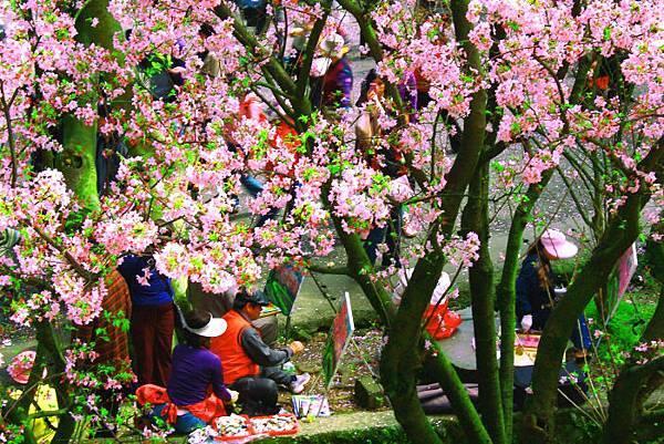 3天元宮櫻花之美
