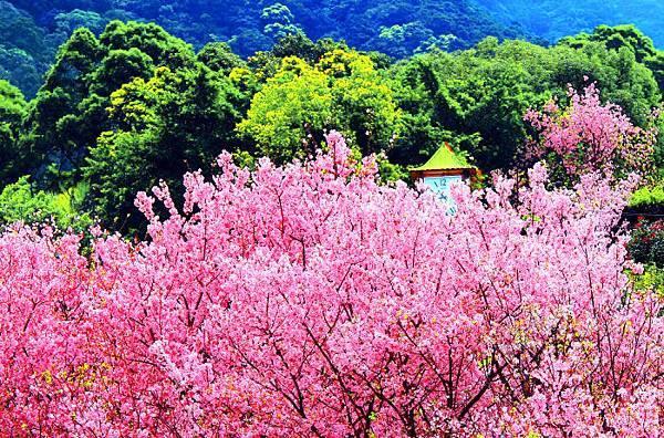 5天元宮櫻花之美