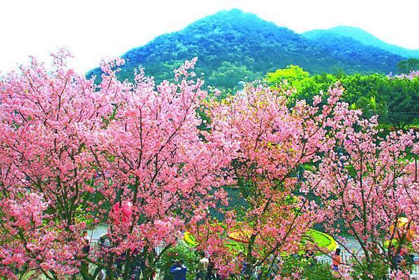 4天元宮櫻花之美