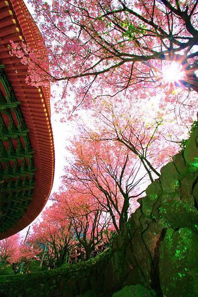 7天元宮櫻花之美