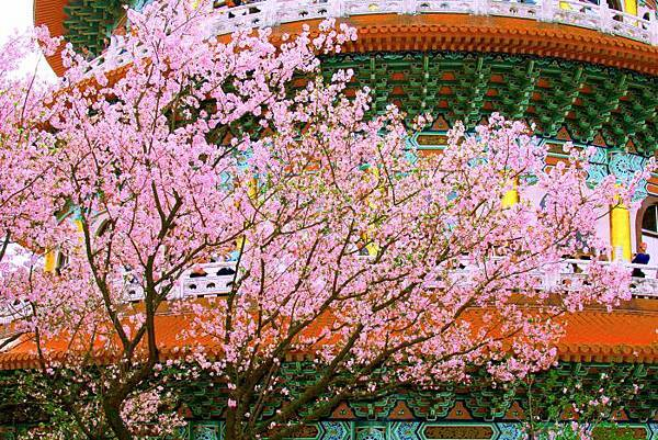 10天元宮櫻花之美