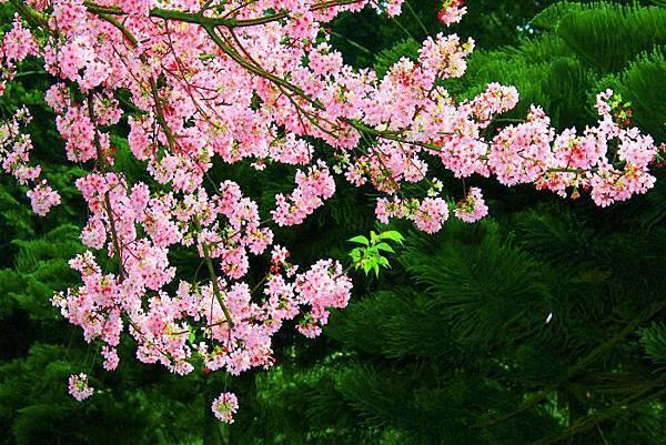 12天元宮櫻花之美