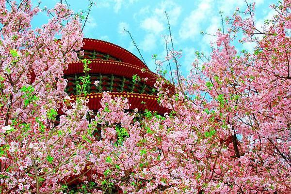 17天元宮櫻花之美