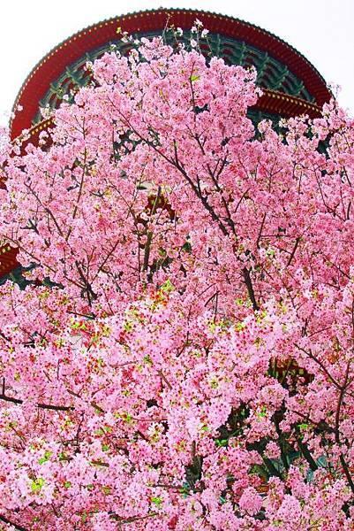 16天元宮櫻花之美