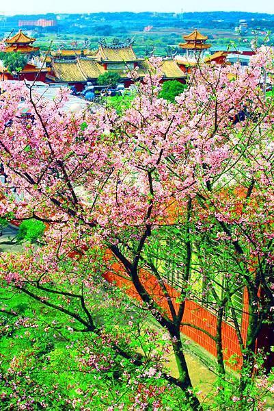 19天元宮櫻花之美