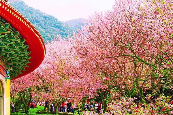 20天元宮櫻花之美
