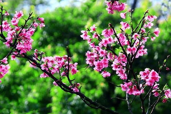 182014年陽明山花季