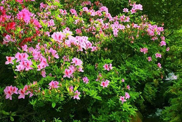 15陽明山花季2014