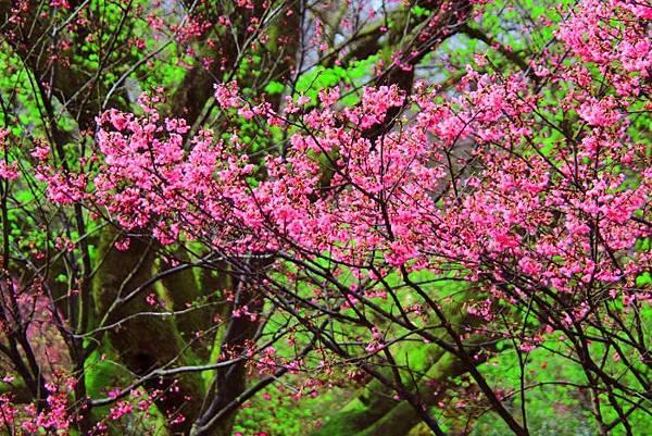 17陽明山花季2014