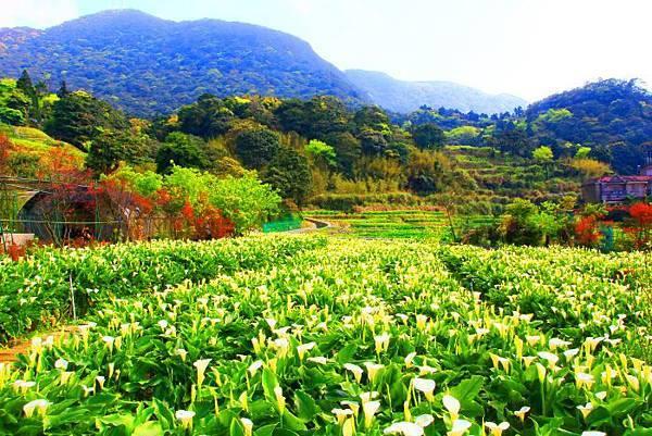 2陽明山竹子湖海芋