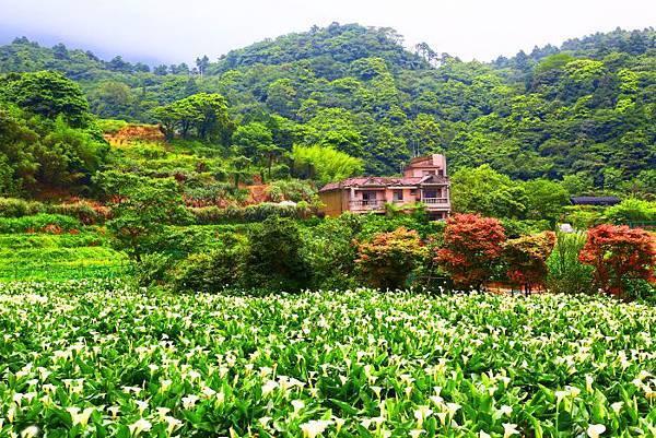 8陽明山竹子湖海芋
