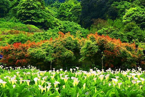 9陽明山竹子湖海芋