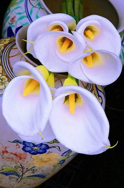 12陽明山竹子湖海芋