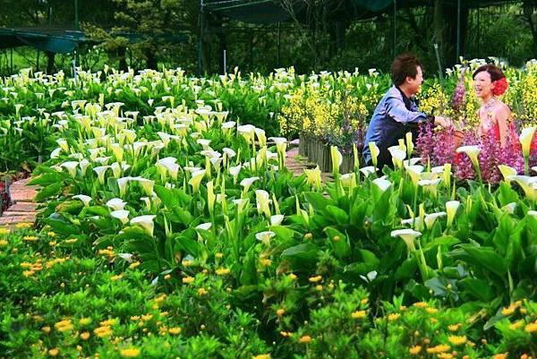 20陽明山竹子湖海芋