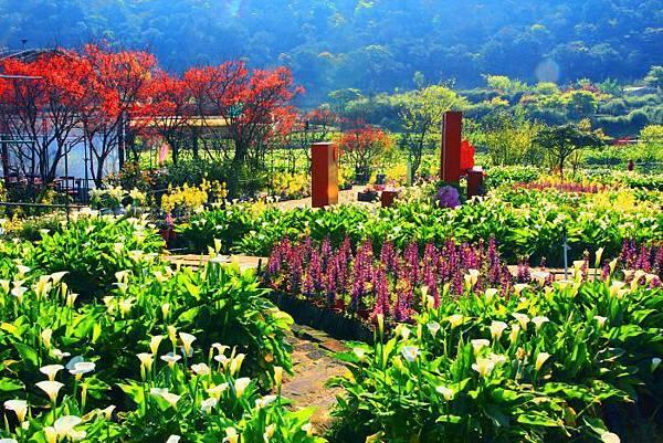 10陽明山竹子湖海芋