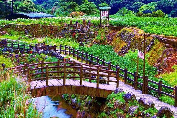 6陽明山竹子湖海芋