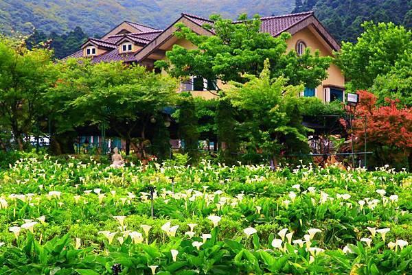 7陽明山竹子湖海芋