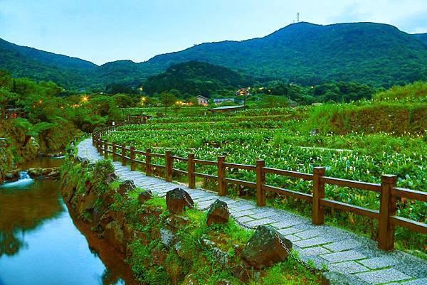 19-1陽明山竹子湖海芋