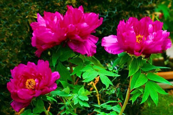 2杉林溪牡丹花
