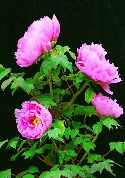 5杉林溪牡丹花